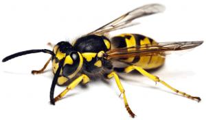 yaban arısı ilaçlama, yaban arısı nasıl ilaçlanır, yaban arısı ilaçlama işlemi