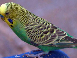 muhabbet kuşu görmek, rüyada muhabbet kuşu görmenin anlamı, rüyada muhabbet kuşu görmek ne demek